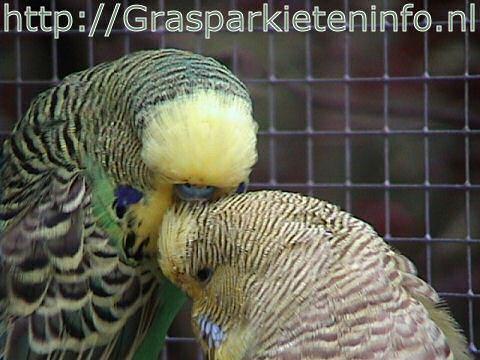 Grasparkieten kuisen elkaars veren
