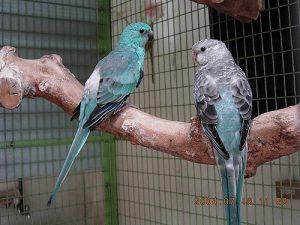 Twee blauwe roodrugparkieten, een mutatie van de oorspronkelijke groene kleur.