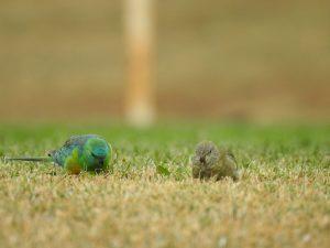 Twee scharrelende roodrugparkieten op het gras