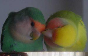 Twee knuffelende agapornissen